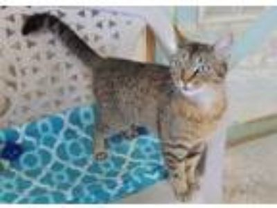 Adopt Bailee a Brown or Chocolate Domestic Shorthair / Domestic Shorthair /