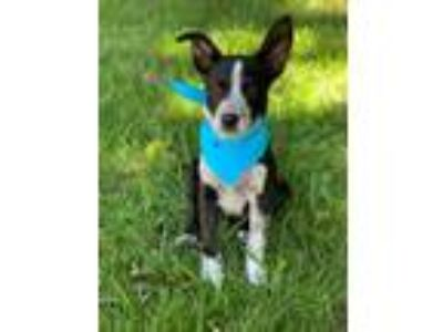 Adopt Mellow a Corgi, Australian Cattle Dog / Blue Heeler