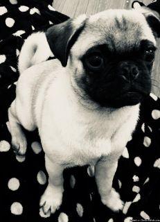 Male Pug pup
