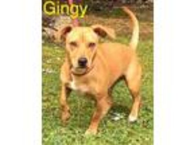 Adopt Gingy a Tan/Yellow/Fawn Terrier (Unknown Type, Small) / Mixed dog in