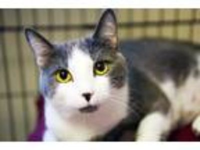 Adopt Amity a Domestic Short Hair
