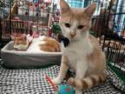 Adopt Alex a Tabby, Domestic Short Hair
