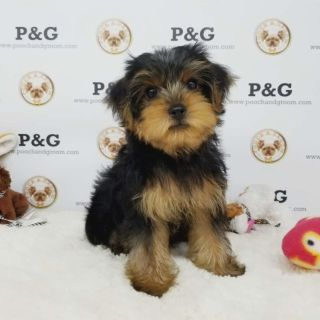 Yorkshire Terrier PUPPY FOR SALE ADN-95874 - YORKSHIRE TERRIER WILLIAM MALE