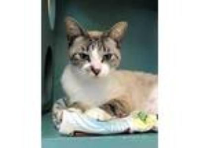 Adopt CRYSTAL a Brown or Chocolate (Mostly) Siamese / Mixed (short coat) cat in