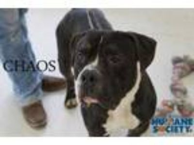 Adopt Chaos a Black American Pit Bull Terrier / Mixed dog in Grand Island
