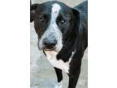 Adopt Romeo a Black - with White Labrador Retriever / Border Collie / Mixed dog