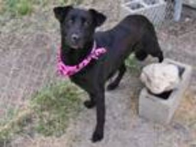 Adopt DEE DEE a Black - with White Labrador Retriever / Mixed dog in Houston