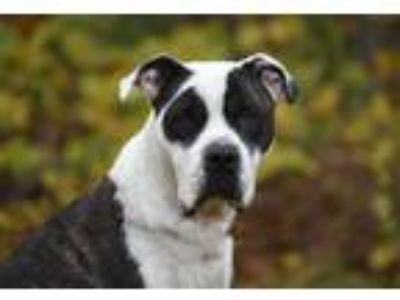 Adopt Mona a Pit Bull Terrier, Great Dane