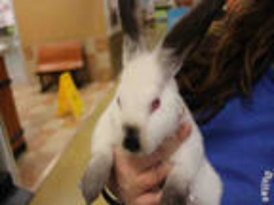 Adopt a White Other/Unknown / Mixed rabbit in Dallas, TX (25556991)
