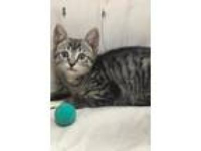 Adopt Dominic a Gray, Blue or Silver Tabby Domestic Shorthair / Mixed (short