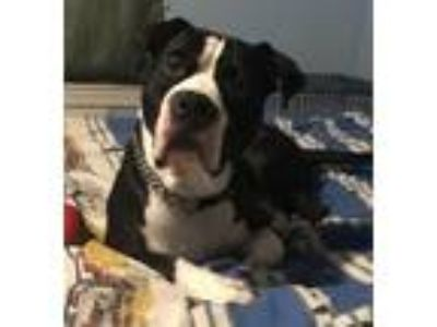 Adopt Chevy- Courtesy Listing a Pit Bull Terrier
