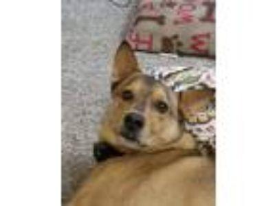 Adopt Boston a Tan/Yellow/Fawn German Shepherd Dog / Mixed dog in Gainesville