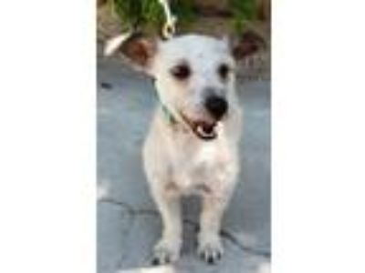 Adopt Cossi Fox a White Poodle (Miniature) / Terrier (Unknown Type