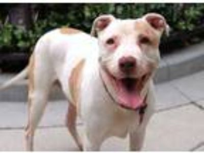 Adopt Lou Lou a White American Pit Bull Terrier / Mixed dog in Chicago