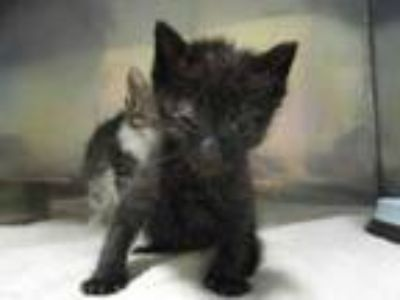 Adopt Huey a All Black Domestic Shorthair / Domestic Shorthair / Mixed cat in
