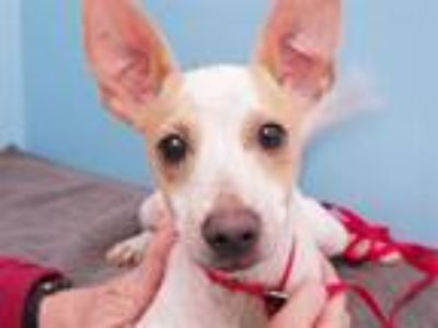 Adopt Boomer a Jack Russell Terrier, Mixed Breed