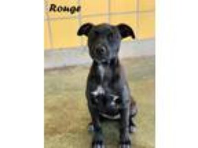 Adopt Rouge Lonestar a Black - with White Australian Cattle Dog / Labrador