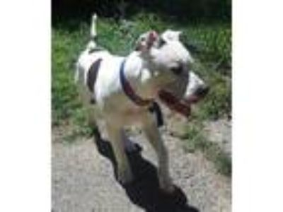 Adopt Rocco a Pit Bull Terrier / Mixed dog in Ledgewood, NJ (25582905)