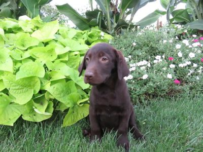Labrador Retriever PUPPY FOR SALE ADN-94141 - Black Lab Puppy