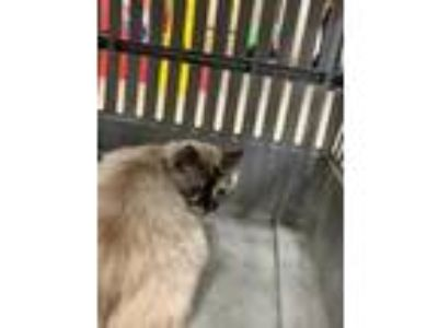 Adopt Pruett Daisy a Cream or Ivory Ragdoll / Siamese / Mixed (long coat) cat in