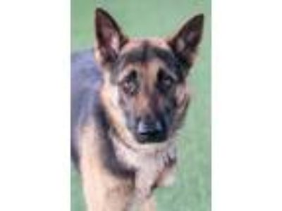 Adopt German a Black German Shepherd Dog / Mixed dog in Loxahatchee