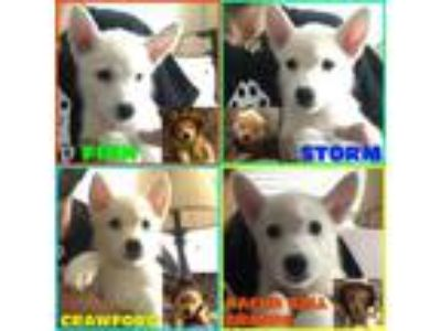 Adopt Polar Puppies a Husky, German Shepherd Dog