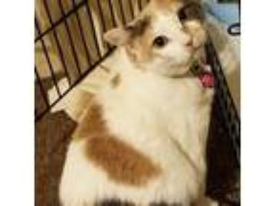 Adopt Mia a Calico or Dilute Calico Calico (short coat) cat in Tracy