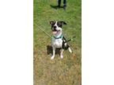 Adopt Gemma a Brown/Chocolate American Pit Bull Terrier / Mixed dog in Newport