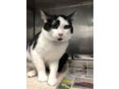 Adopt Brantley a Domestic Short Hair