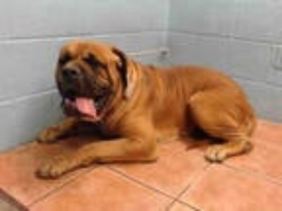 Adopt MACK a Brown/Chocolate Mastiff / Mixed dog in Downey, CA (25624523)
