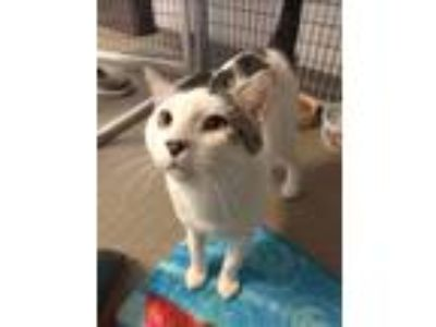 Adopt Sinbad a Domestic Short Hair
