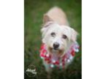 Adopt Pebbles a West Highland White Terrier / Westie, Schnauzer