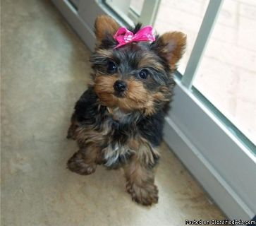 Yorkie puppies for good homes!!!