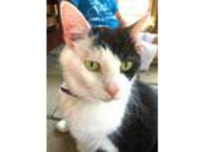 Adopt Ringo a All Black Domestic Shorthair / Domestic Shorthair / Mixed cat in
