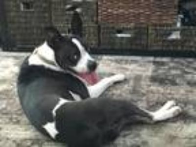 Adopt Batman a Black - with White Boston Terrier / Boxer / Mixed dog in