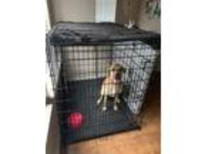 Adopt Ella a Tan/Yellow/Fawn Great Dane / Hound (Unknown Type) dog in Killeen