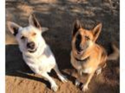 Adopt LUCKY a White German Shepherd Dog / Mixed dog in Malibu, CA (23096737)