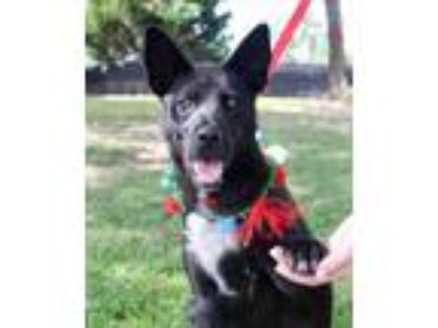 Adopt Captain Marvel a Black - with White Shepherd (Unknown Type) / Mixed dog in
