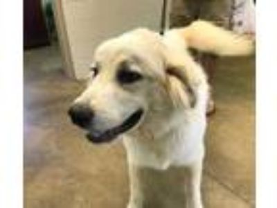 Adopt General a White Great Pyrenees / Mixed dog in Cleveland, AL (25837057)