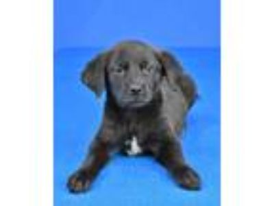 Adopt (HOLD) Bella a Black Terrier (Unknown Type, Small) / Mixed dog in Cabot