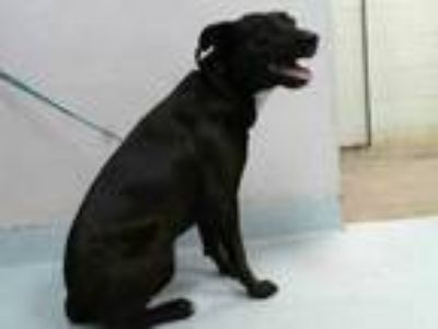 Adopt a Black Labrador Retriever / Mixed dog in Pasadena, TX (25562127)