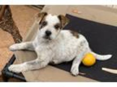 Adopt TUCKER a Cattle Dog, Australian Cattle Dog / Blue Heeler