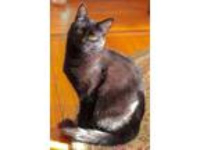 Adopt Maggie a All Black Domestic Shorthair (short coat) cat in Woodbury