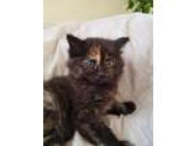 Adopt Charlie a Calico or Dilute Calico Siamese cat in Salt Lake City