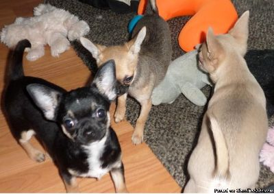 Gorgeous Smooth Coat Chihuahua Puppies