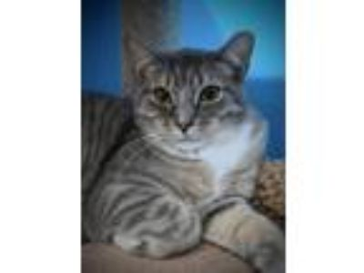 Adopt Rugrat a Gray or Blue (Mostly) Domestic Shorthair / Mixed (short coat) cat