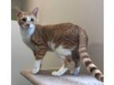Adopt Aslan a Domestic Short Hair