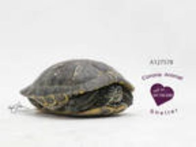 Adopt a Turtle - Water / Mixed reptile, amphibian, and/or fish in Corona