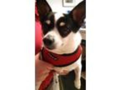 Adopt SKIPPER a White - with Black Jack Russell Terrier / Mixed dog in Brewster