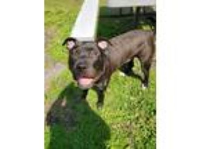 Adopt Ziggy a American Staffordshire Terrier / Mixed dog in Gloversville
